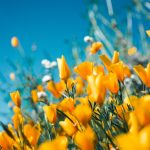 images of California poppies
